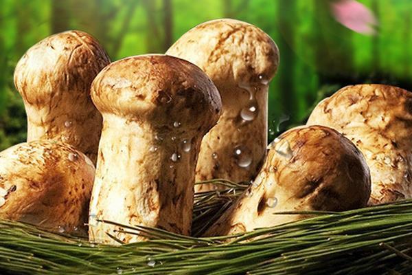 松茸的功效与作用 吃松茸有什么好处