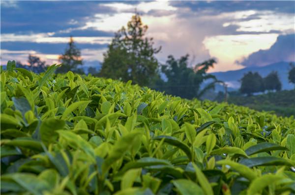 绿茶的功效与作用 喝绿茶有什么好处