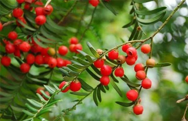 红豆杉全身是宝 红豆杉的功效与作用