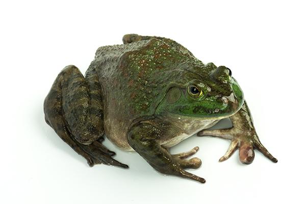 牛蛙的营养价值 吃牛蛙有什么好处