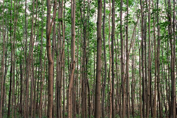 桦树茸的功效及副作用
