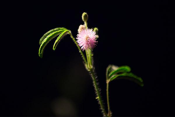 含羞草的图片图片