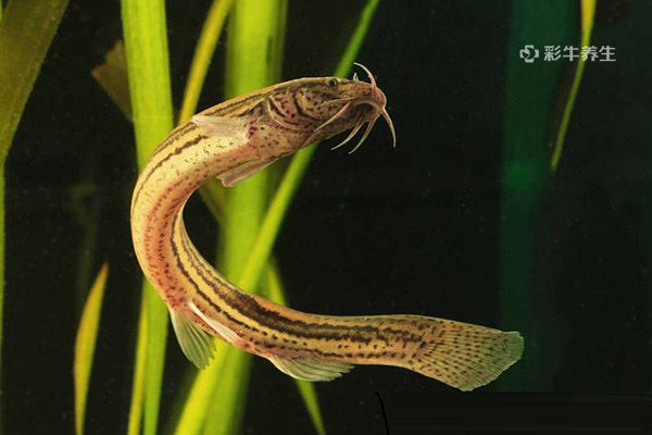 泥鰍1.jpg