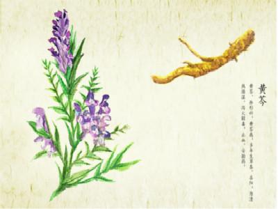黄芩的功效与作用点