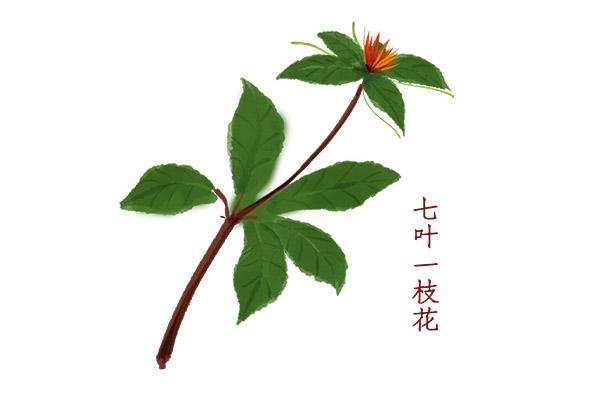 七叶一枝花1.jpg