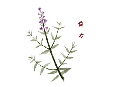 黄芩的功效和作用