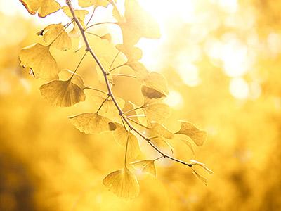 银杏树叶的功效与作用