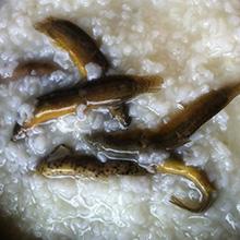 泥鳅芝麻粥